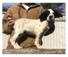 15 weeks old English Setter puppies to be rehomed