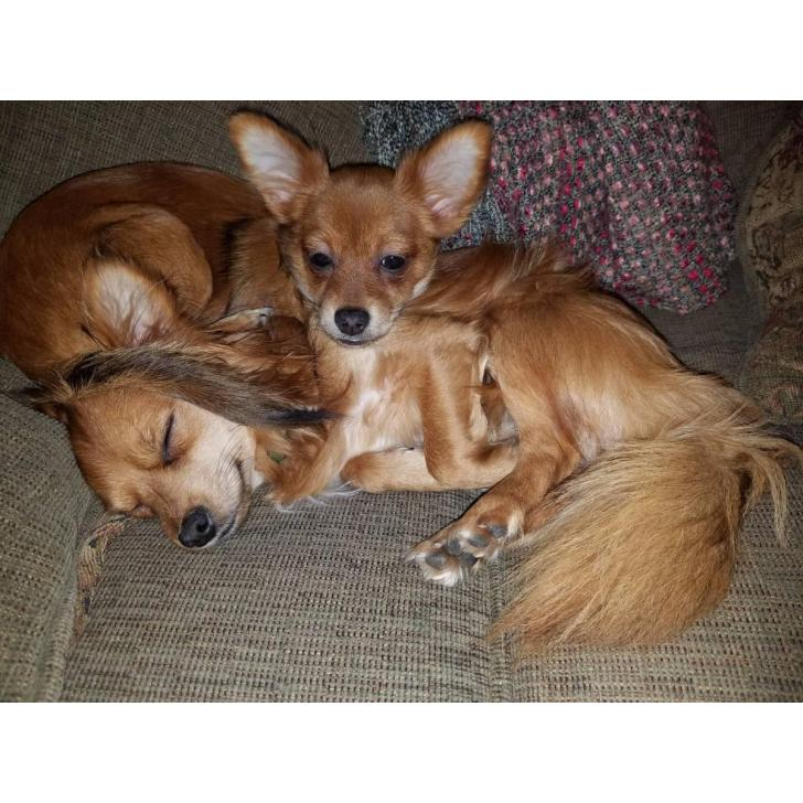 Free Chiweenie puppies for a good forever home in ...