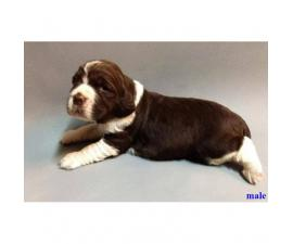 English Springer Spaniels AKC Reg