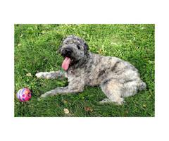 Grey Brindle Male Bouvier des Flandres Puppies