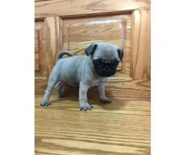Male Pug Puppies - 1 left