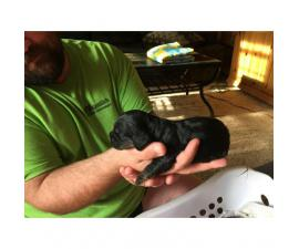 Black Cocker Spaniel Puppies will be ready for Christmas
