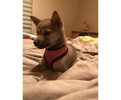 Female Shiba inu puppy for sale