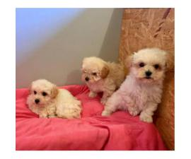 Lhasa-poo puppies for sale 6 Available