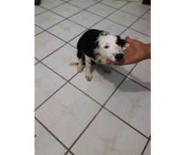 5 month old male border collie puppies