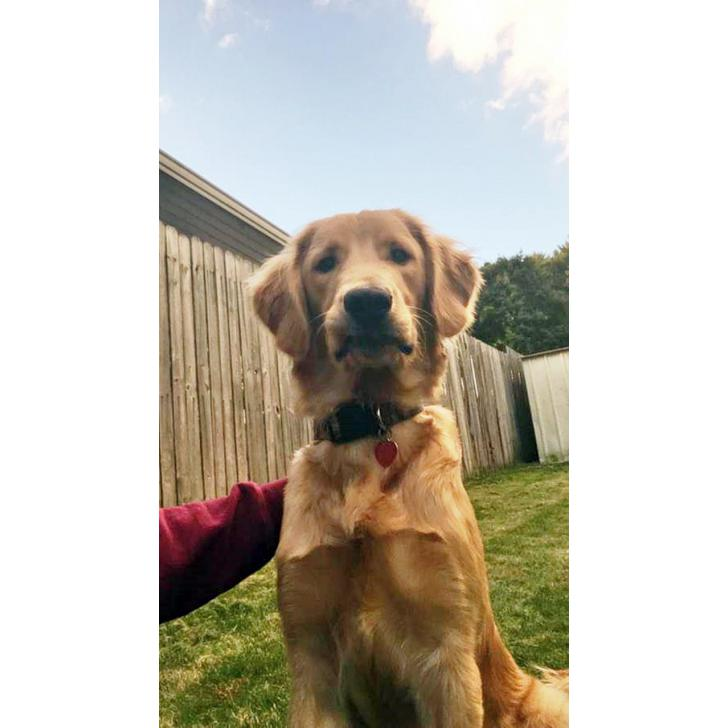 Golden retriever puppies for sale in PA in Lancaster ...