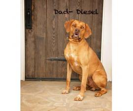 Rhodesian Ridgeback puppies - AKC Registered