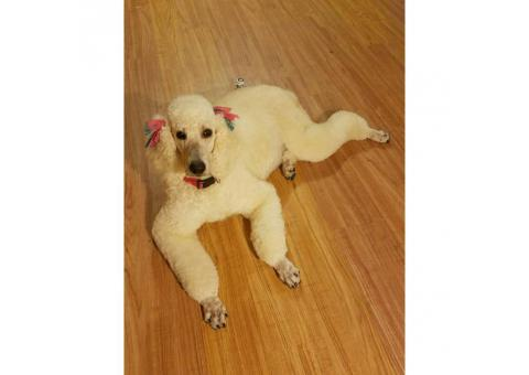 Labradoodle Puppies 8 Available with Various Colors