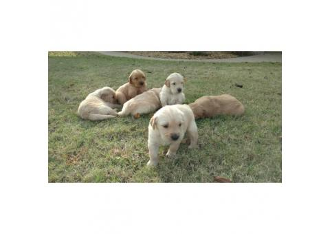 6 females and 4 males Golden Retriever
