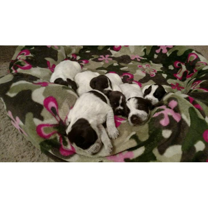 German Wirehaired Griffon Pointer puppies in Meridian ...