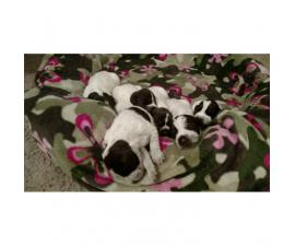 German Wirehaired Griffon Pointer puppies