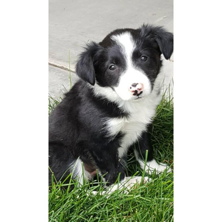 border collie for sale idaho in caldwell   idaho