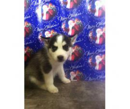 Ausky Puppies for Sale