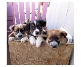 Lovable Border Collie Puppies for Sale