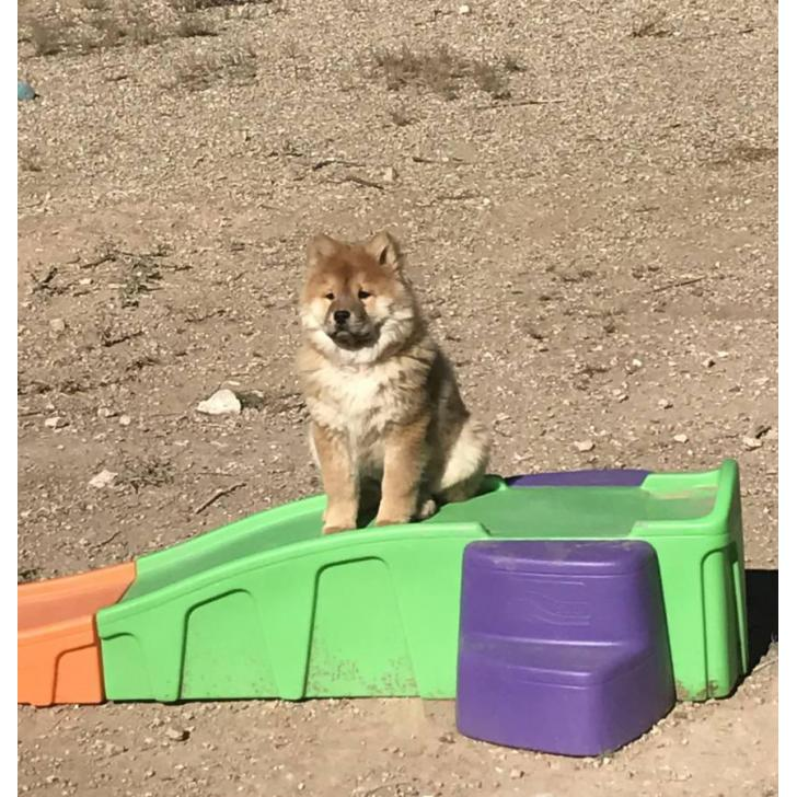 Puppies For Sale In Albuquerque >> Female Chow Chow Puppy for Sale in Albuquerque, New Mexico - Puppies for Sale Near Me