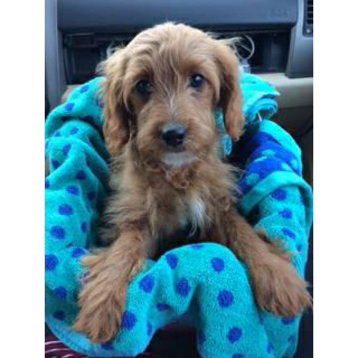 15 weeks Female Cavapoo Puppy for sale in New York City ...