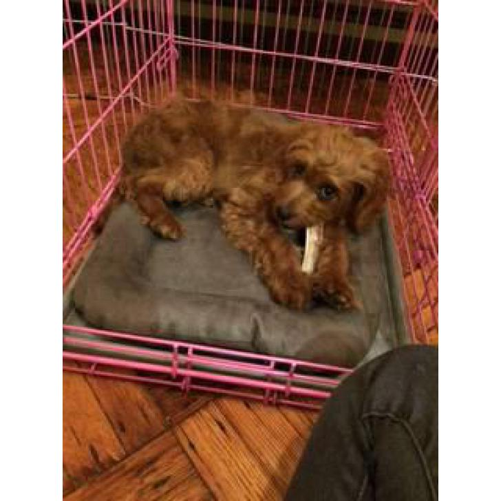 15 weeks Female Cavapoo Puppy for sale in North West South Africa
