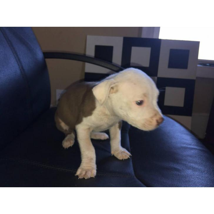 Pit Bull Puppies Red Nose In New York City New York Puppies For Sale Near Me