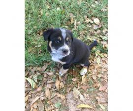 Blue Heeler for sale - 4 Puppies Available