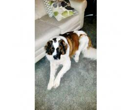 Saint Bernand for Sale - Pure bred no papers