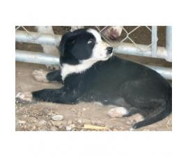 2 Border Collie Puppies for Sale - Black and White