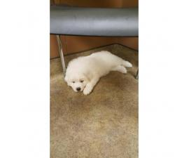 Great Pyrenees puppies for sale - 3 males and 2 females