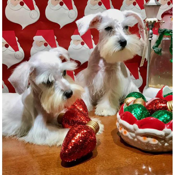 4 Months Old White Miniature Schnauzer Puppies In Florida Puppies For Sale Near Me