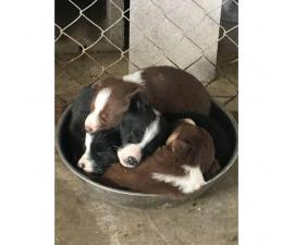 Border Collie Puppies for Sale - ranch homes preferred