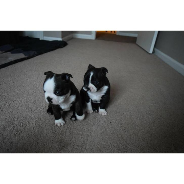 4 Males Boston Terrier Puppies For Sale In Canton Michigan Puppies For Sale Near Me