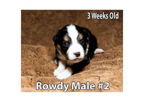 Miniature Australian Shepherd Puppies 3 Male Available
