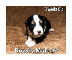 Miniature Australian Shepherd Puppies 3 Male Available