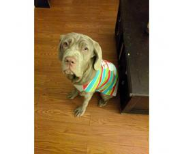 Female Neapolitan Mastiff for Sale