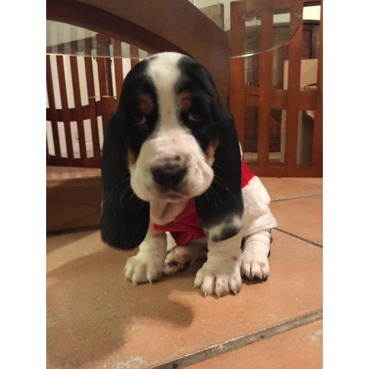 Basset Hound For Sale In Miami Florida Puppies For Sale Near Me