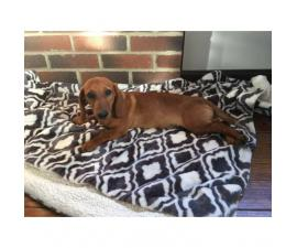 5 month old Dachshund Puppy for sale