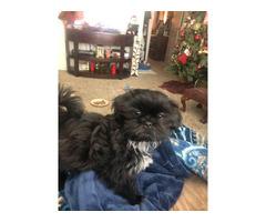 Beautiful female Shihtzu puppy need a good home