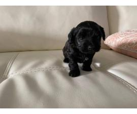 Yorkipoo boy and girl puppy