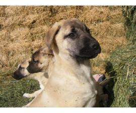 3 male purebred Anatolian Shepherd puppies up for sale