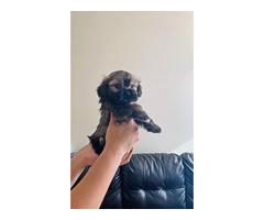 Rehoming beautiful Purebred Shih tzu puppies