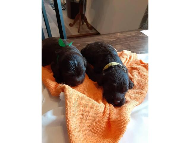 8 F1 Cockapoo Puppies For Sale In Clemson South Carolina Puppies For Sale Near Me