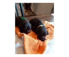 8 F1 Cockapoo puppies for sale