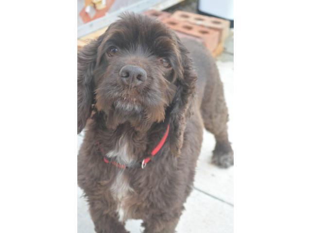 8 F1 Cockapoo puppies for sale in Clemson, South Carolina ...