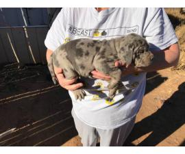 Purebred Catahoula puppies up for sale.