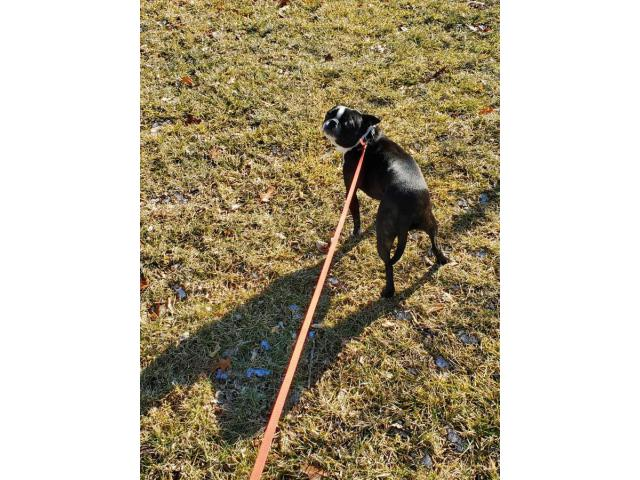 Female Pug Boston Terrier Brindle White For Rehoming In Sioux City Iowa Puppies For Sale