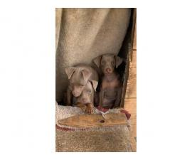 3 Beautiful full blooded Miniature Pinscher puppies for sale