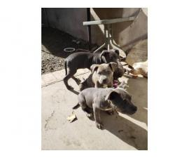 Six American Bully pups up for Sale