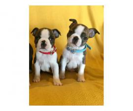Two Male AKC Boston Terrier puppies looking for loving home