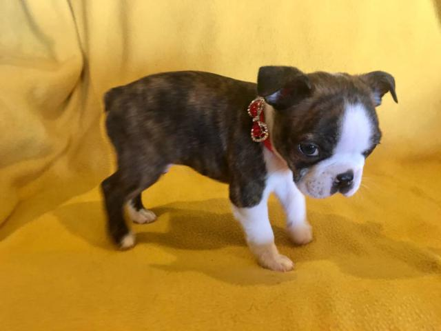 Two Male Akc Boston Terrier Puppies Looking For Loving Home In San Antonio Texas Puppies For