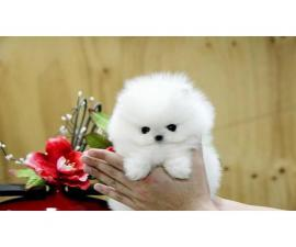 Awesome white pomeranian puppies for adoption
