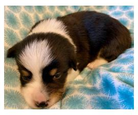3 Pembroke Welsh Corgi Puppies for Sale