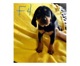 Black and tan Bluetick Coonhound pups
